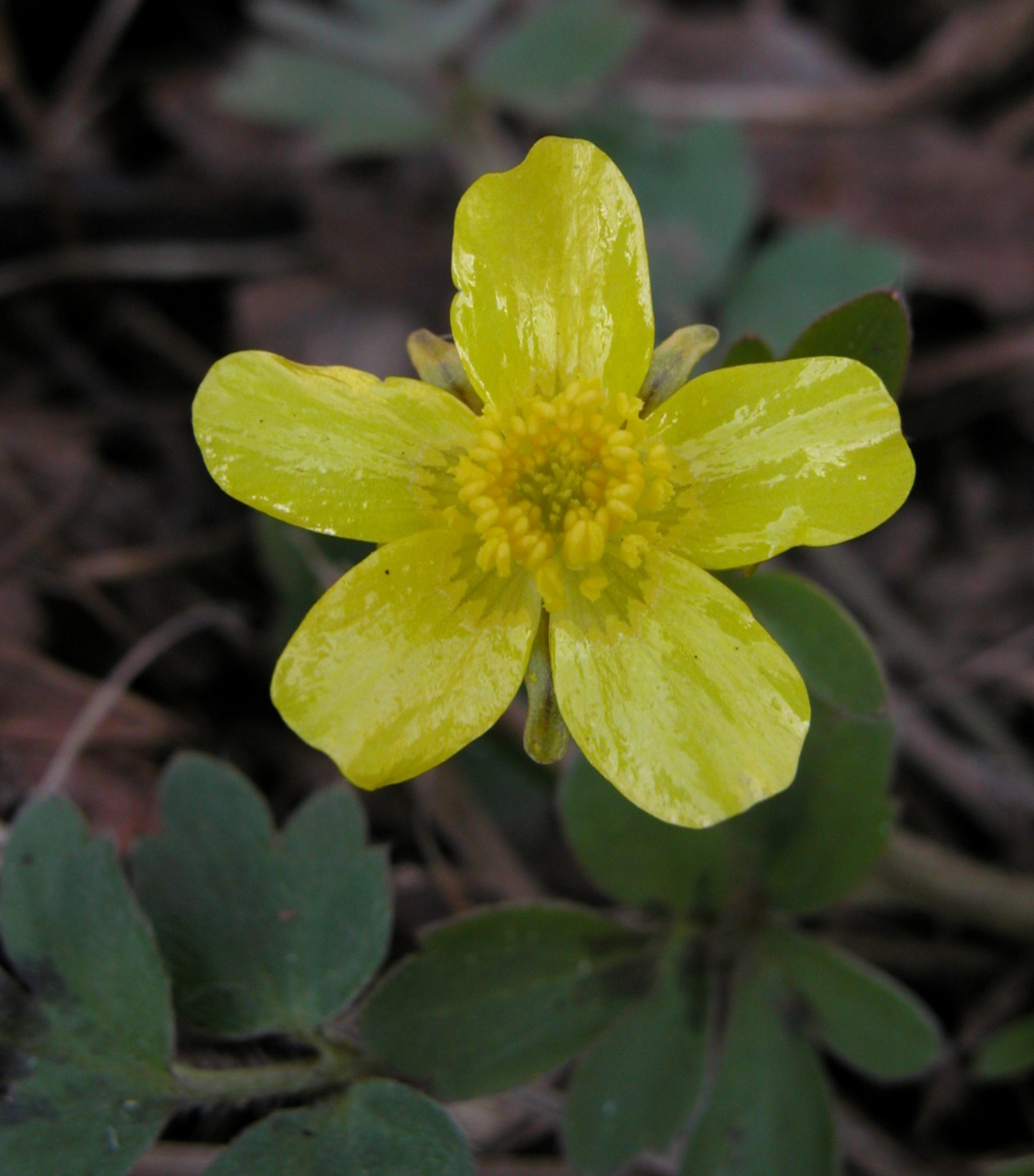 Early Buttercup at Chalet Nivale