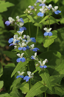 Blue Eyed Mary at Ohio River Bluffs