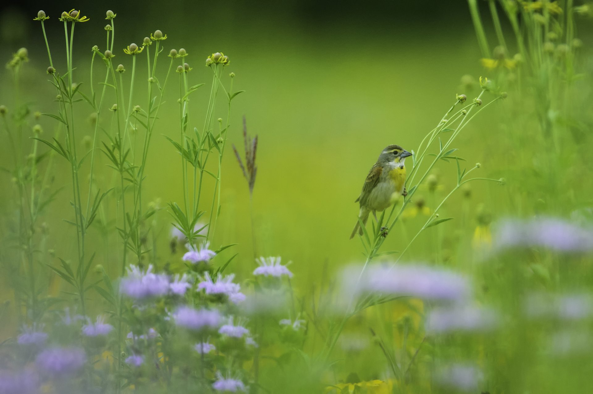 Dickcissels - though rare in our region - are common in Dickcissel Prairie