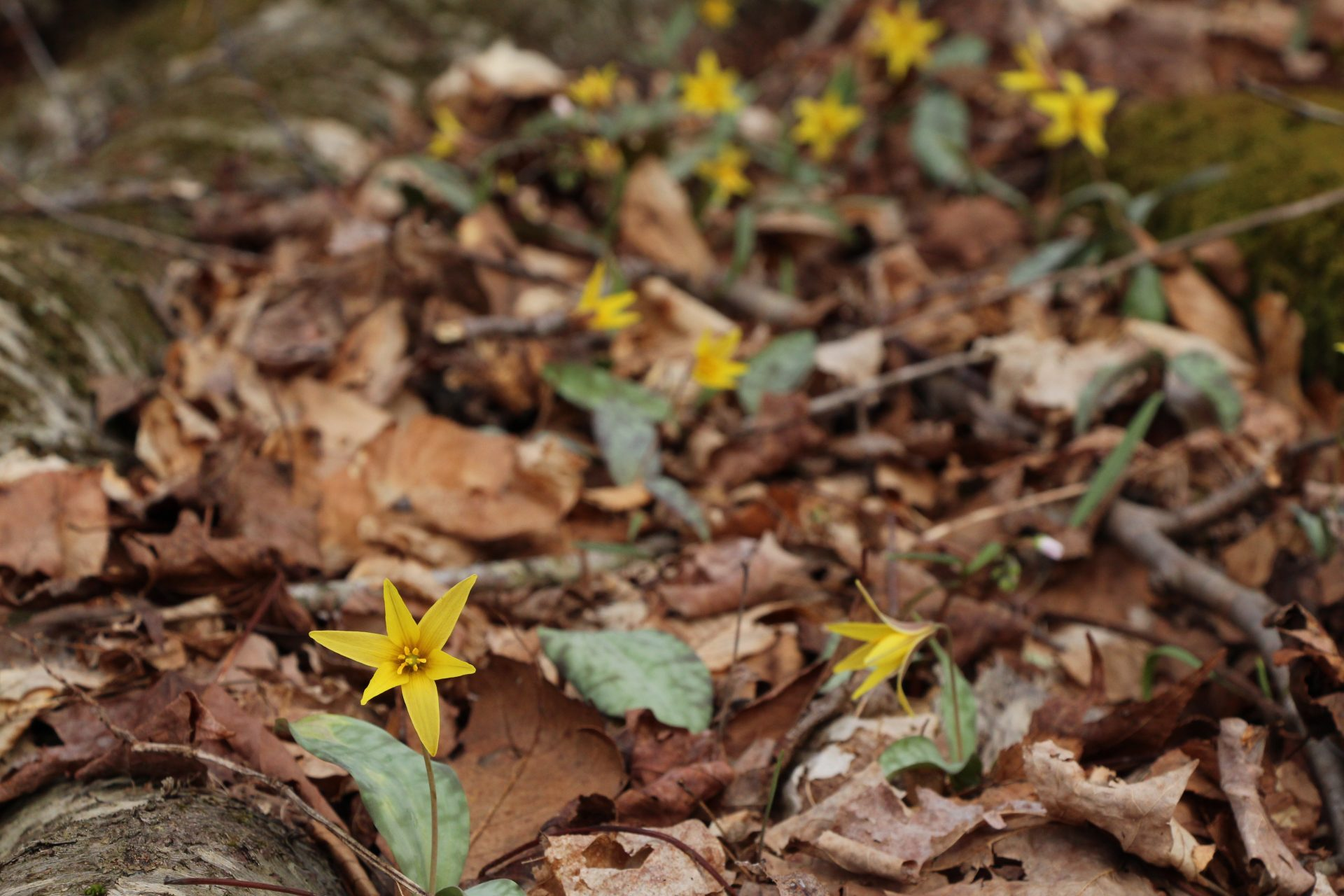 The flower of the Golden Star Lily is much showier than its common counterparts, the Yellow Trout Lily and the White Trout Lily. It is endangered in Ohio, found only in two locations across the state.
