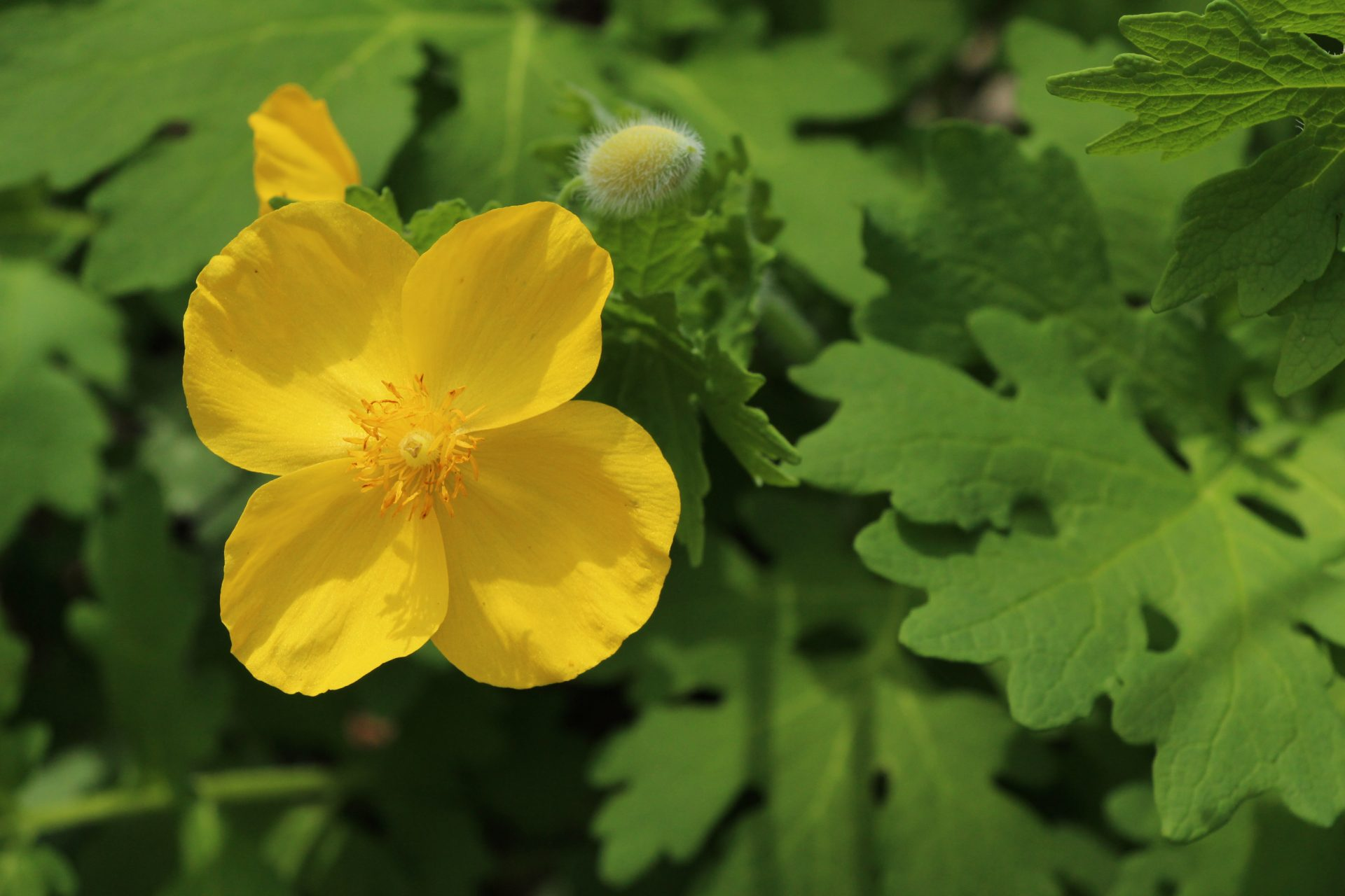 Celandine poppy are among the many woodland flowers that bloom in spring at Pride of Ohio Prairie.