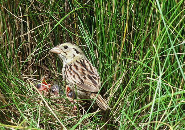 Henslow Sparrow with babies, Photo by John Watts