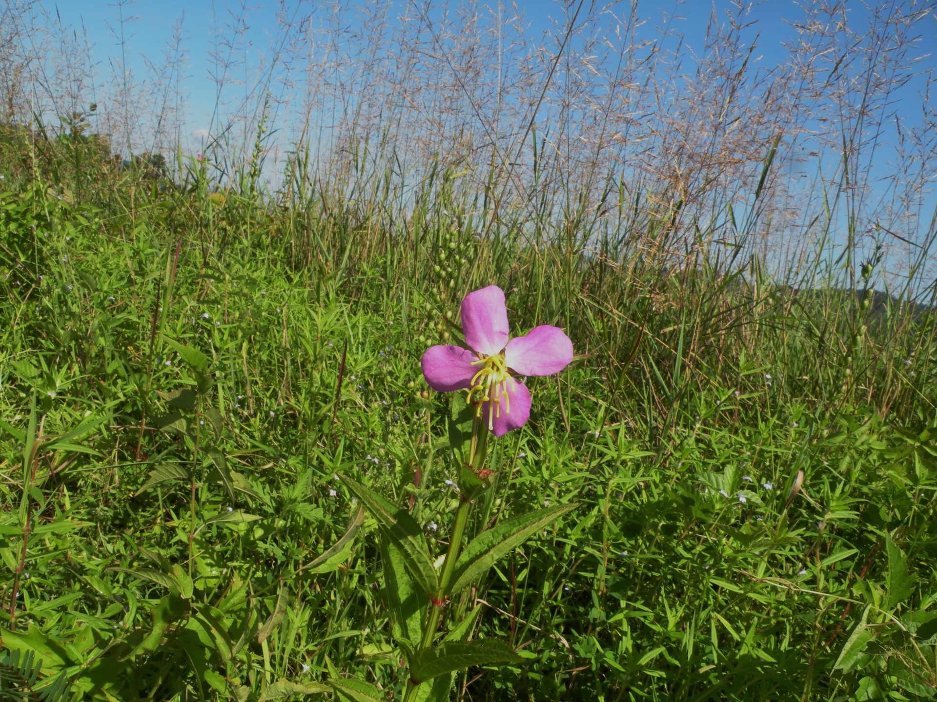 Meadow Beauties grow in disturbed sandy openings at Rock Run.
