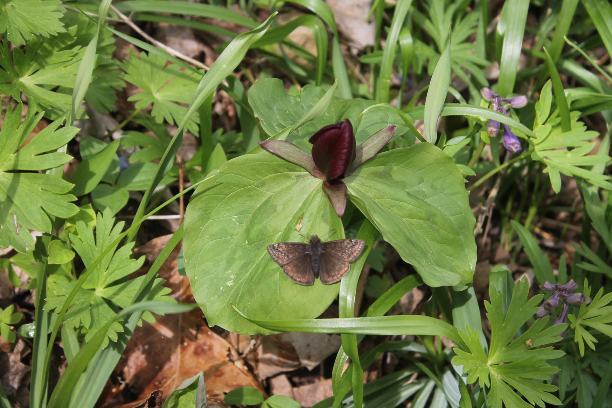 Toad trillium with dusky wing butterfly. Photo courtesy of Dave Keuhner.
