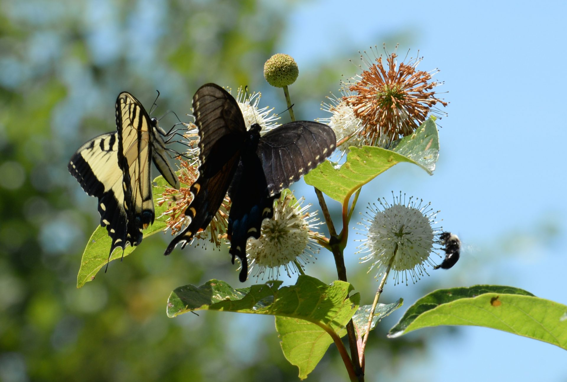 Buttonbush with Butterflies. Photo by Drausin Wulsin.