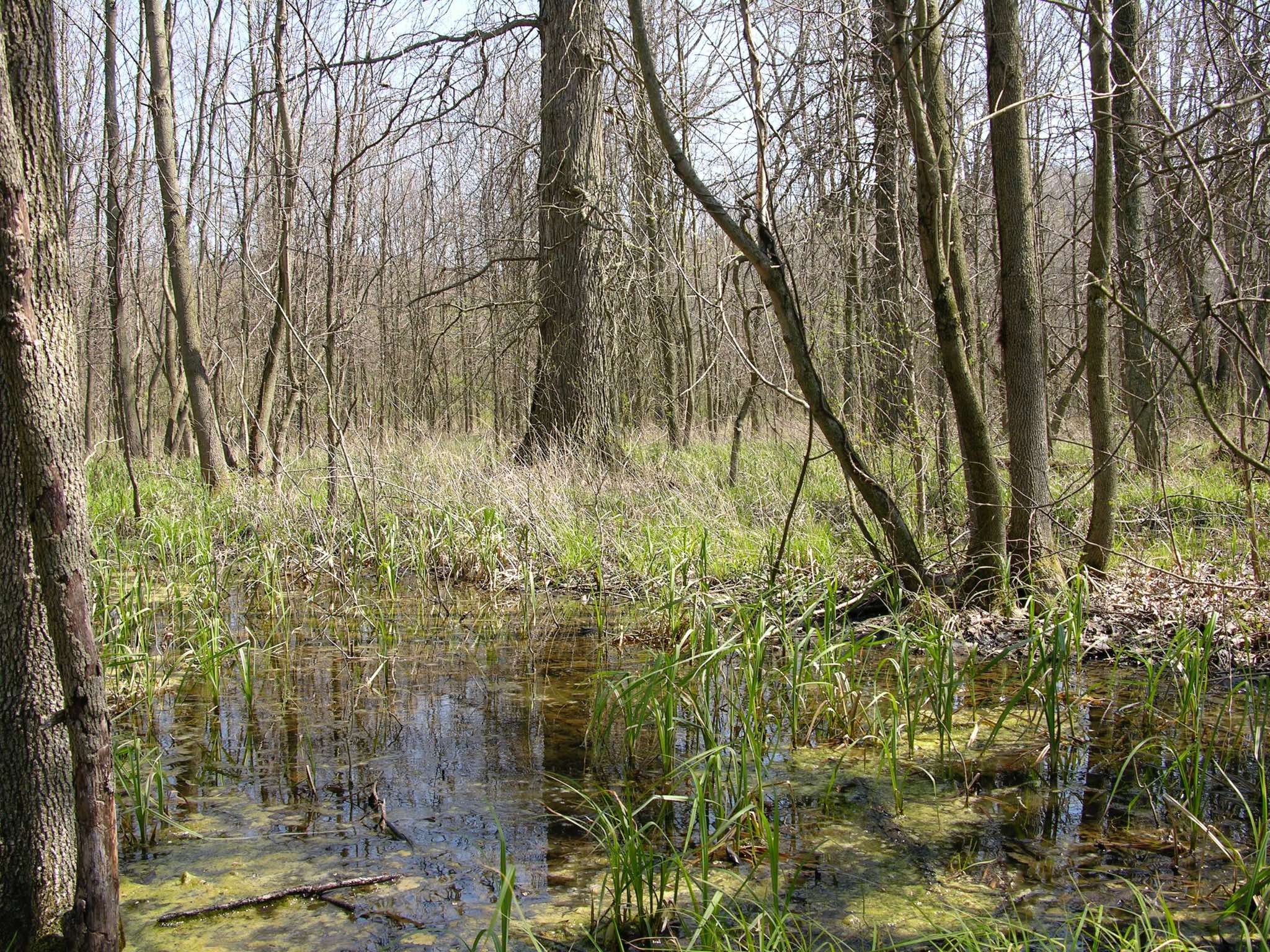 Forested vernal pools and pin oak. Photo by Drausin Wulsin.