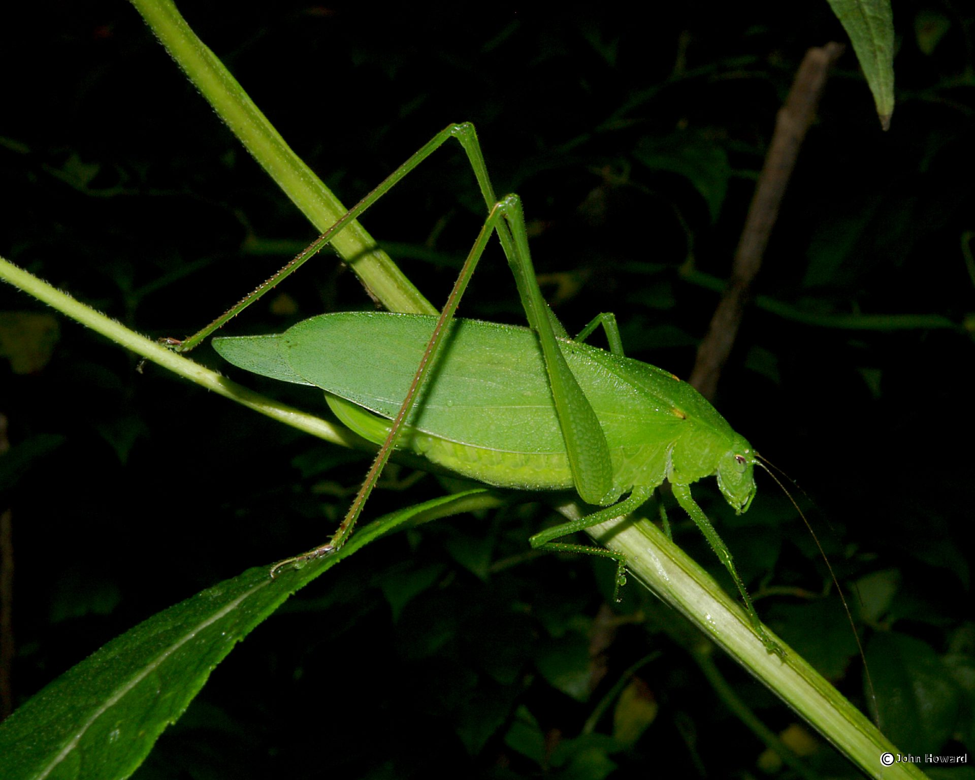 Katydid photo by John Howard