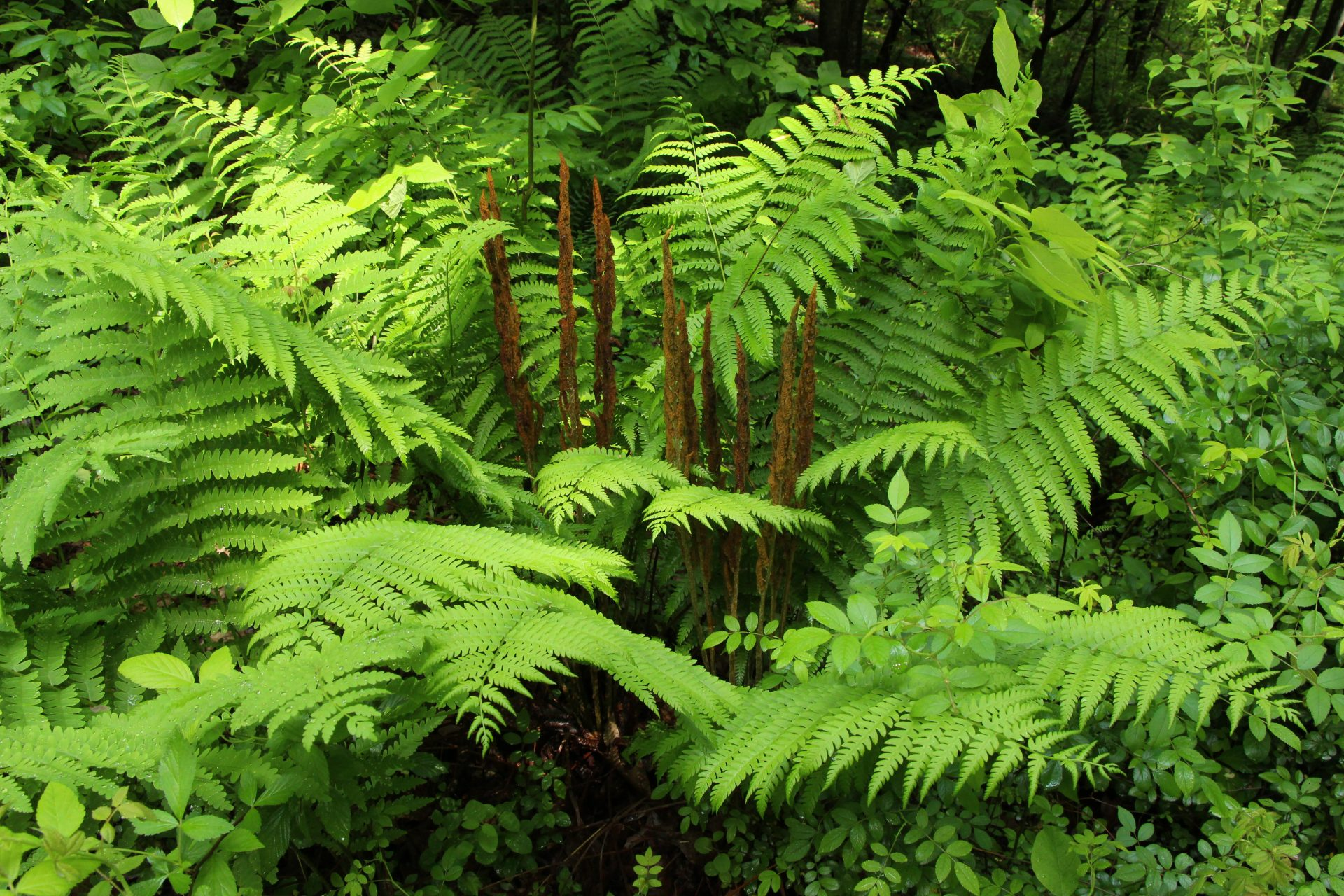 Cinnamon Ferns in Fern Gully