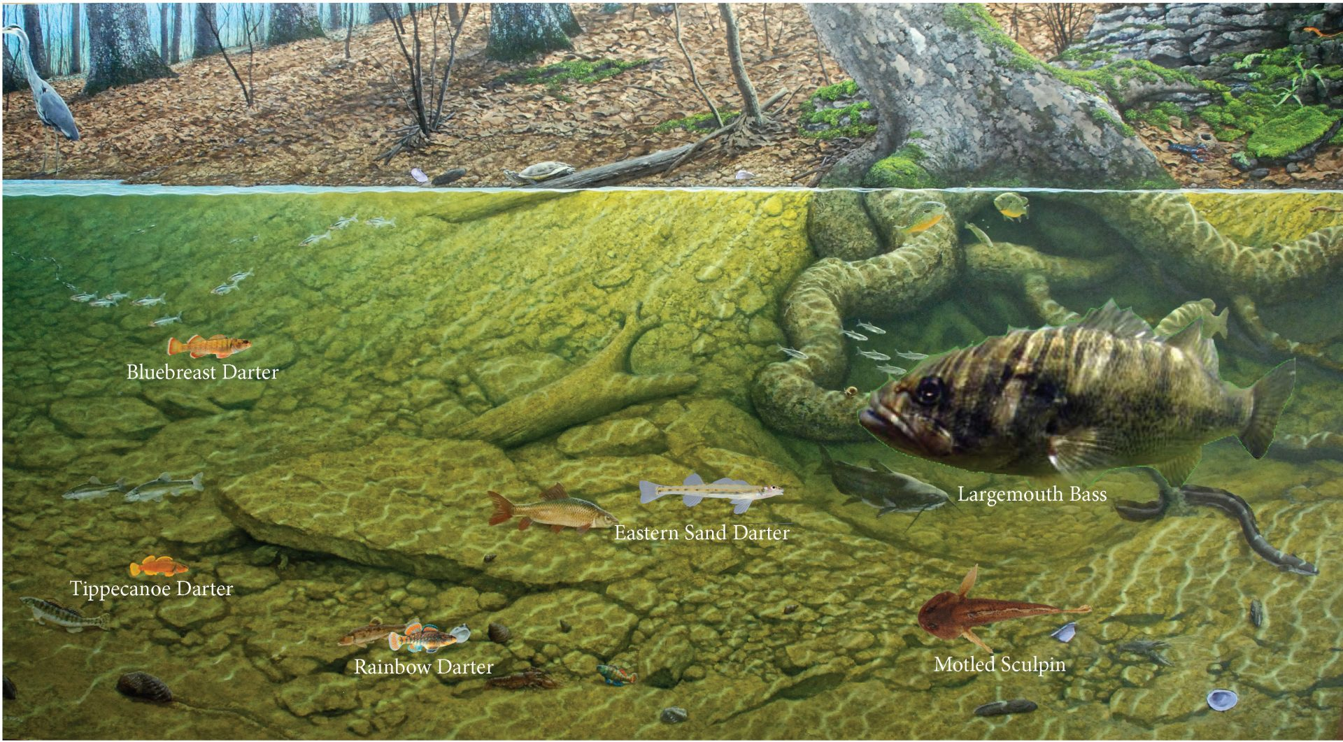 Notable fish species of Salt Creek Watershed.