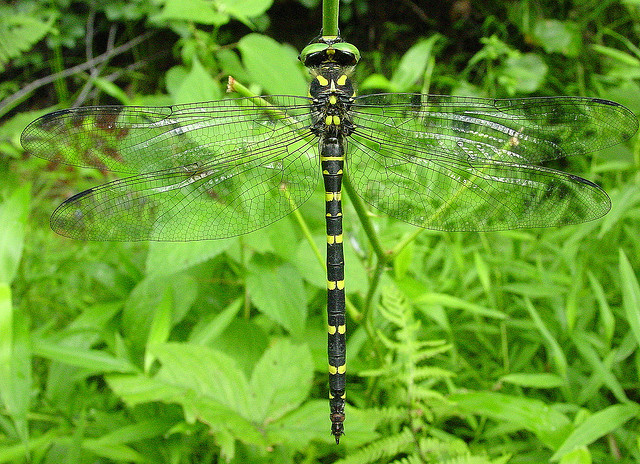 Tiger Spiketail Dragonfly.