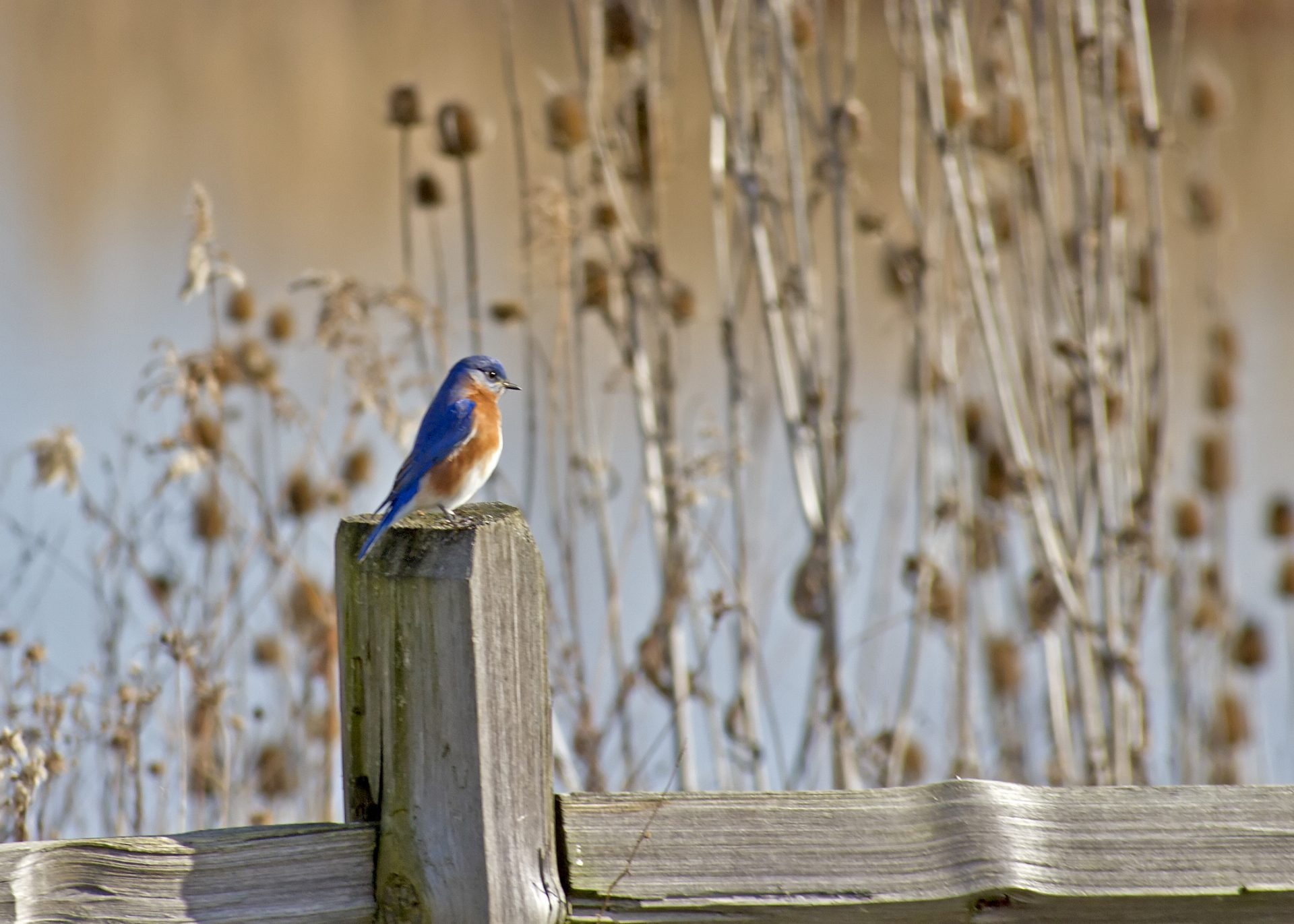 Eastern Bluebird. Photo by Jerry Dalrymple