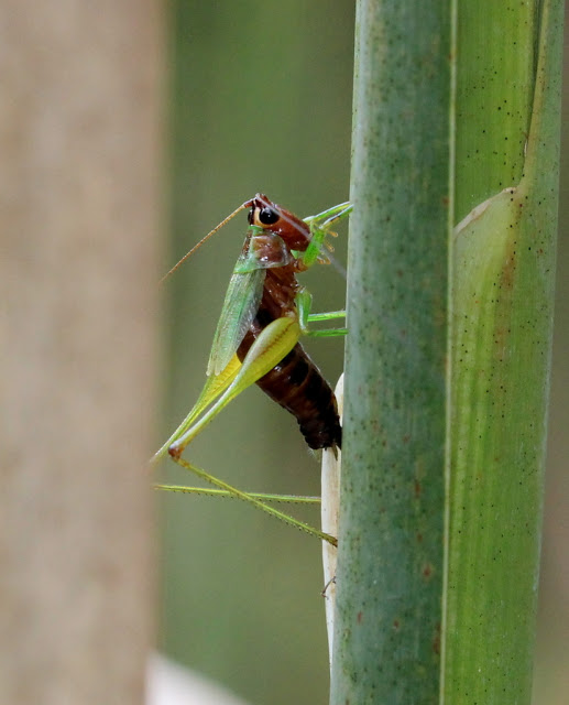 Black-sided Meadow Katydid ovipositing on cattail by Lisa Rainsong