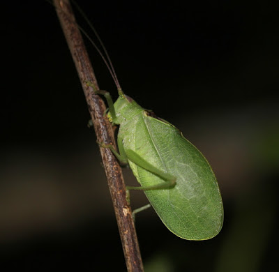 Common True Katydid by Lisa Rainsong