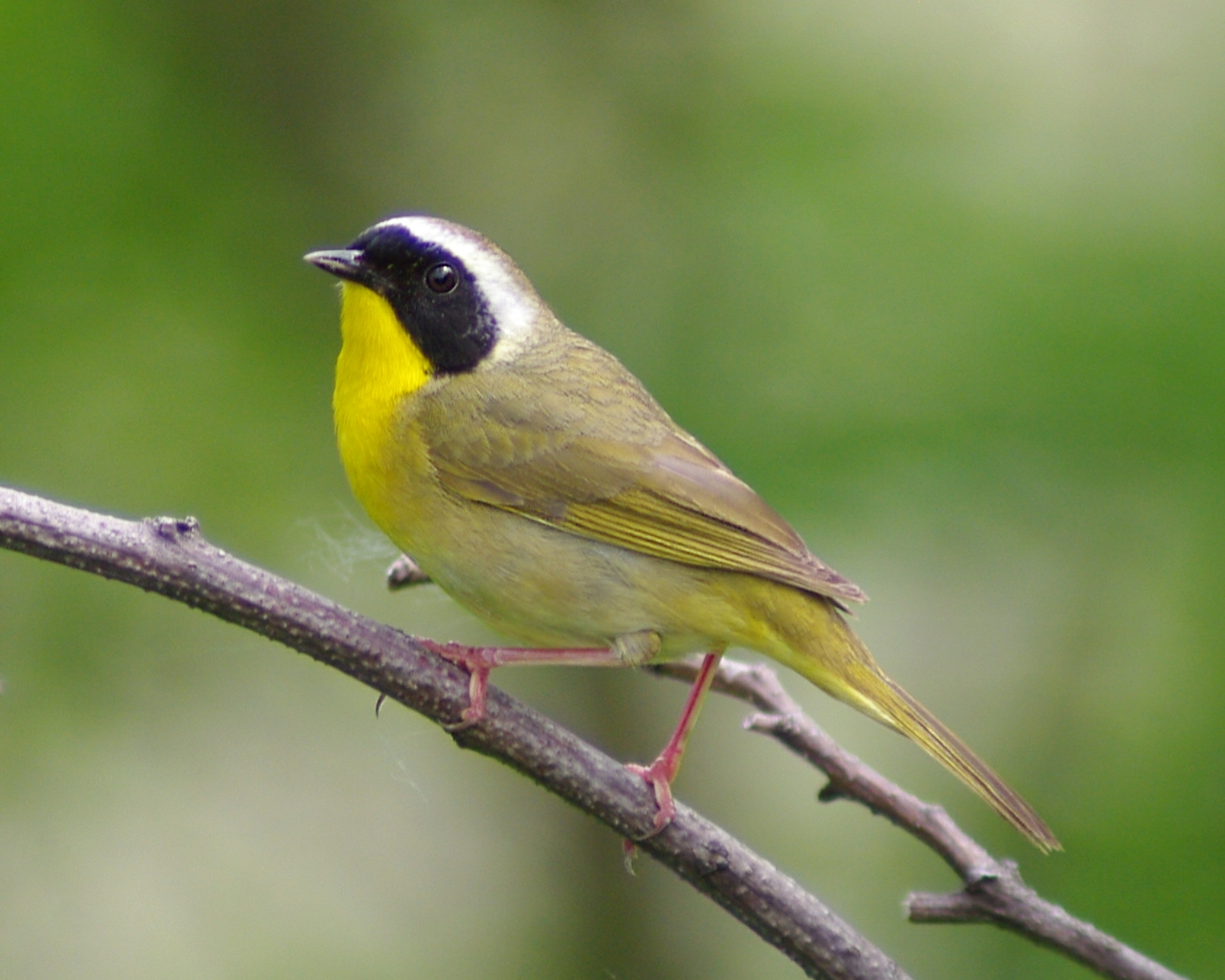 Common Yellowthroat. Photo by John Howard