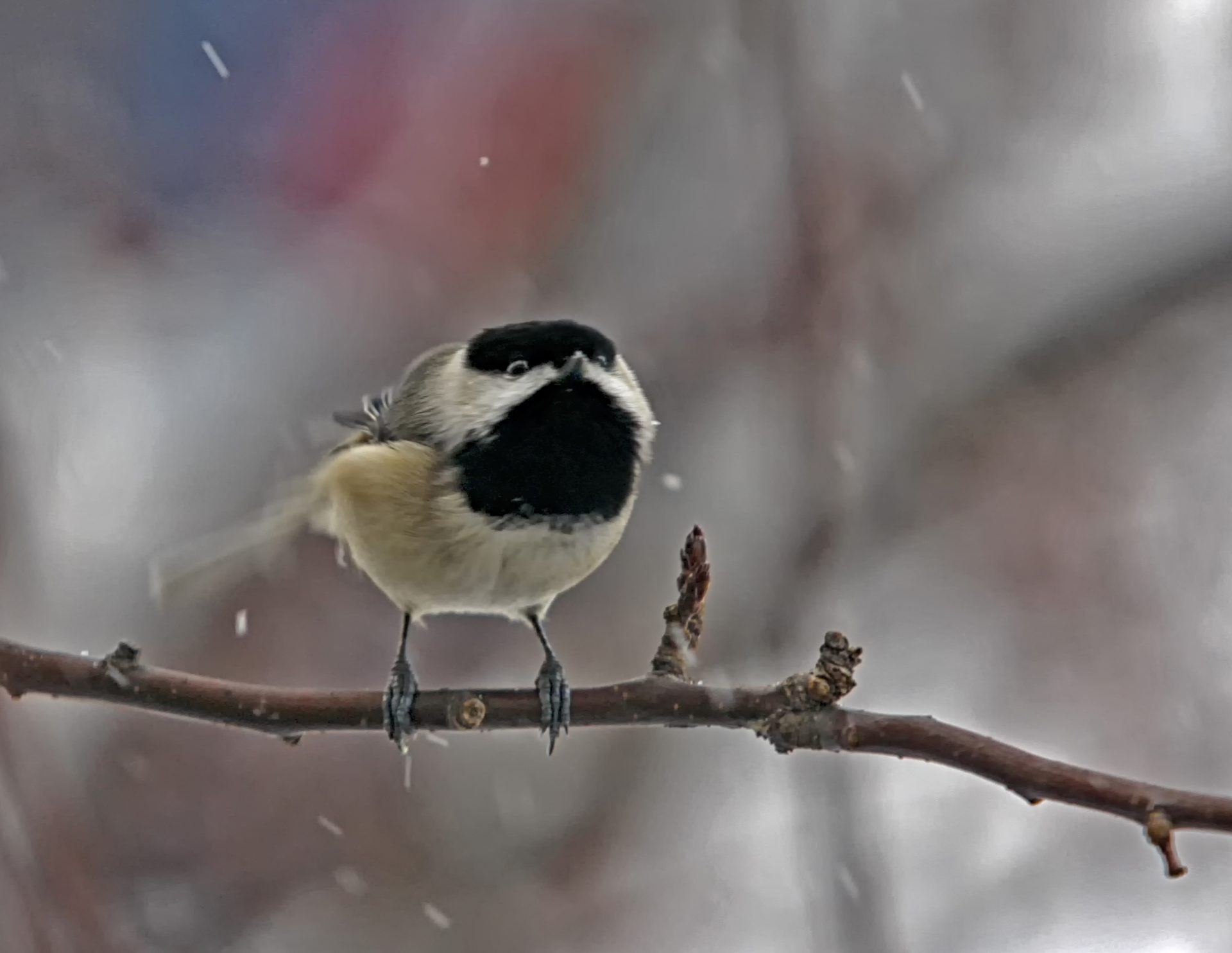 Carolina Chickadee. By Jerry Dalrymple
