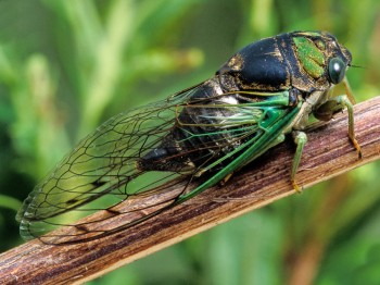 Swamp Cicada by Wil Hershberger