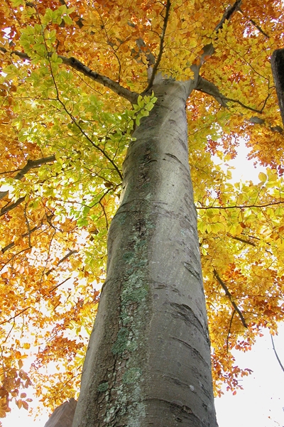 Big American Beech Tree