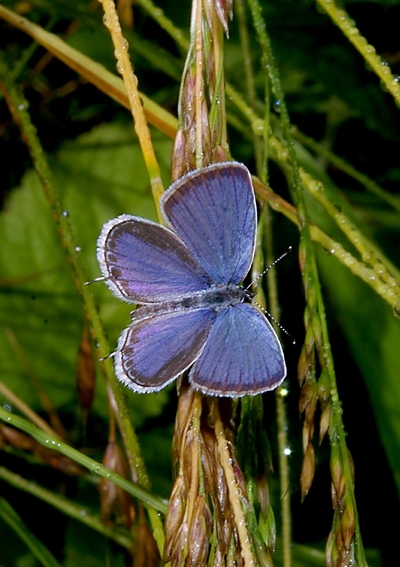 Eastern Tailed Blue. Photo By John Howard.