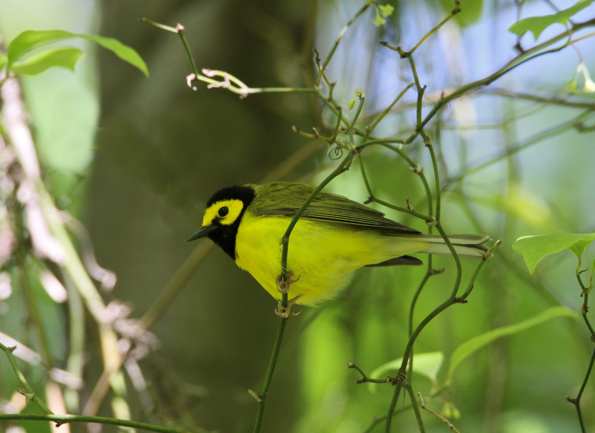 Hooded Warbler. Photo courtesy of John Watts.