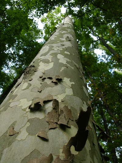 Sycamore Trunk