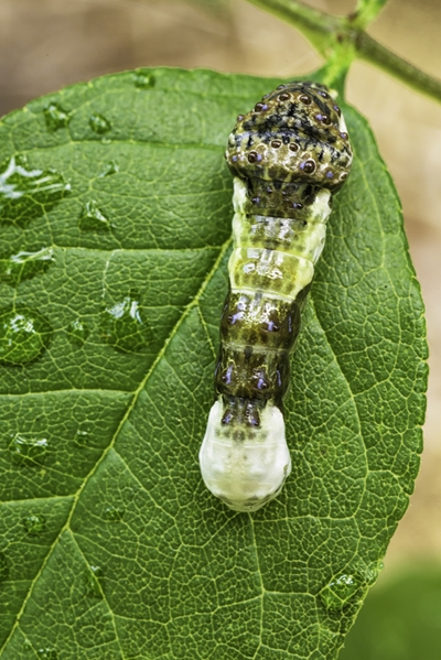 Giant Swallowtail Larvae. Photo by Tom Croce.