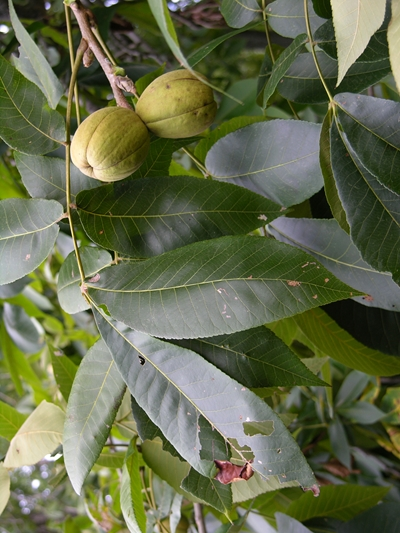 Kingnut Hickory Fruit and Leaves