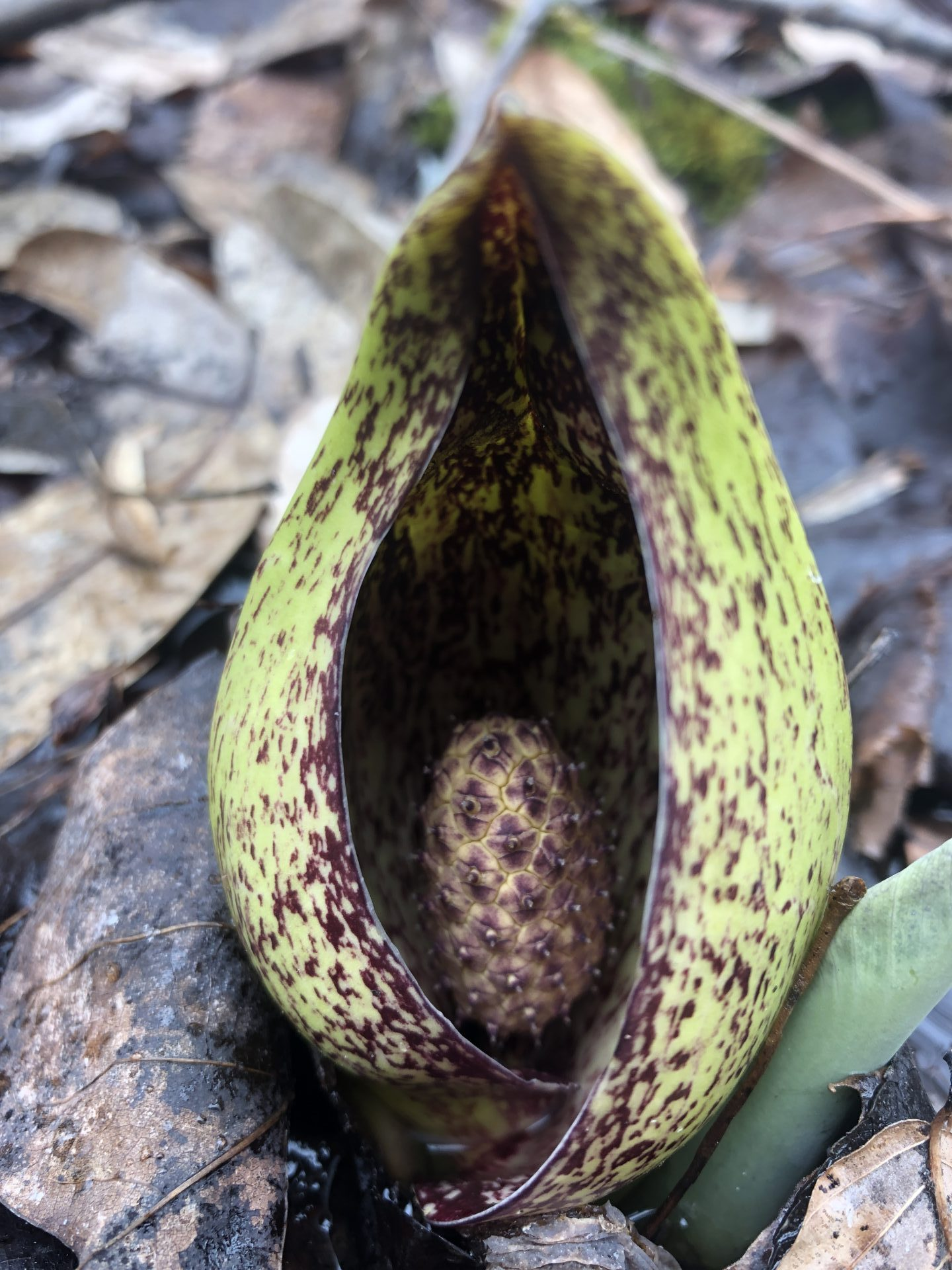 Ridgeview Farm Skunk Cabbage Photo Courtesy of Tim Pohlar