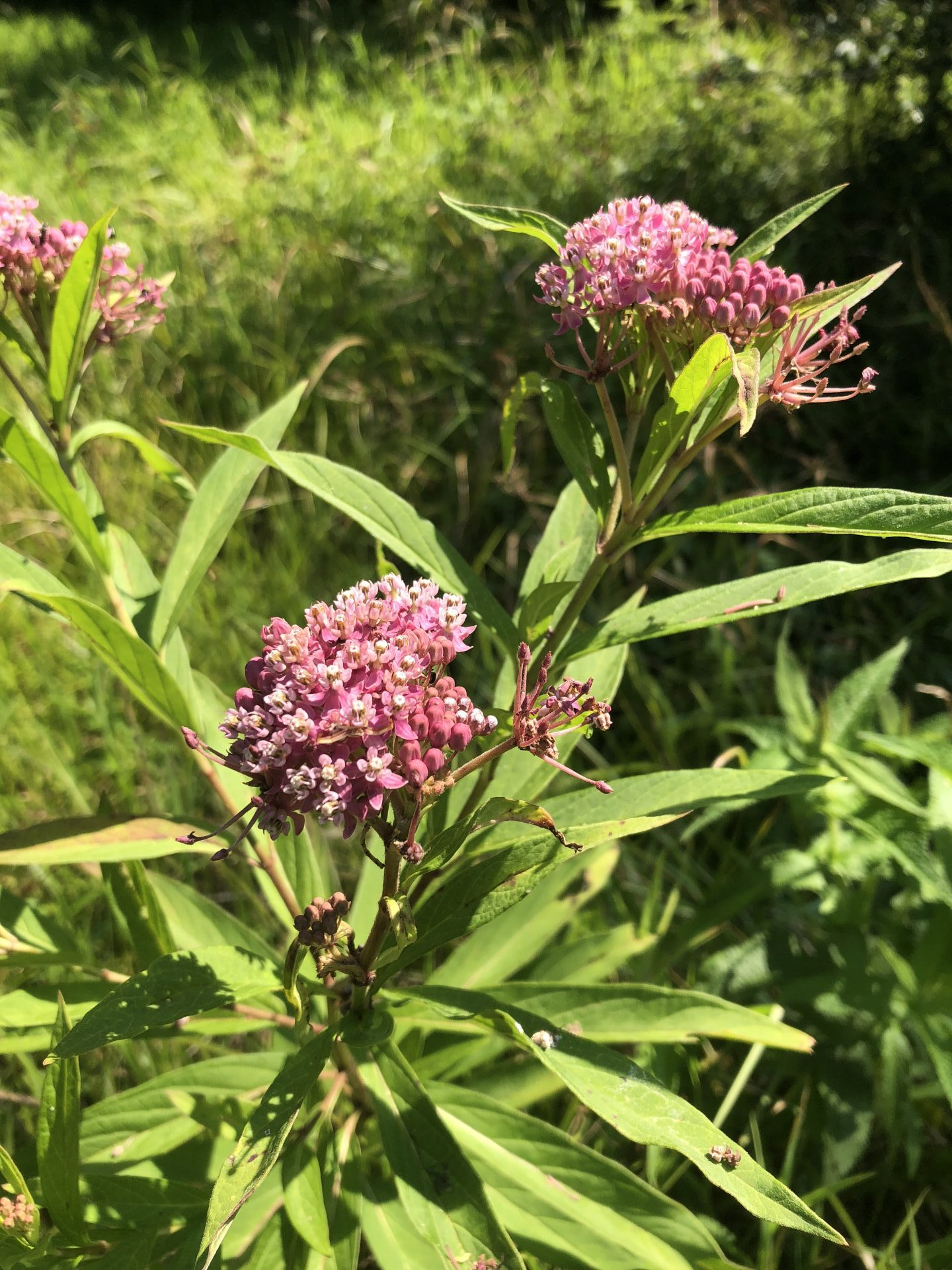 Swamp Milkweed at God's Country. Photo courtesy of Tim Pohlar