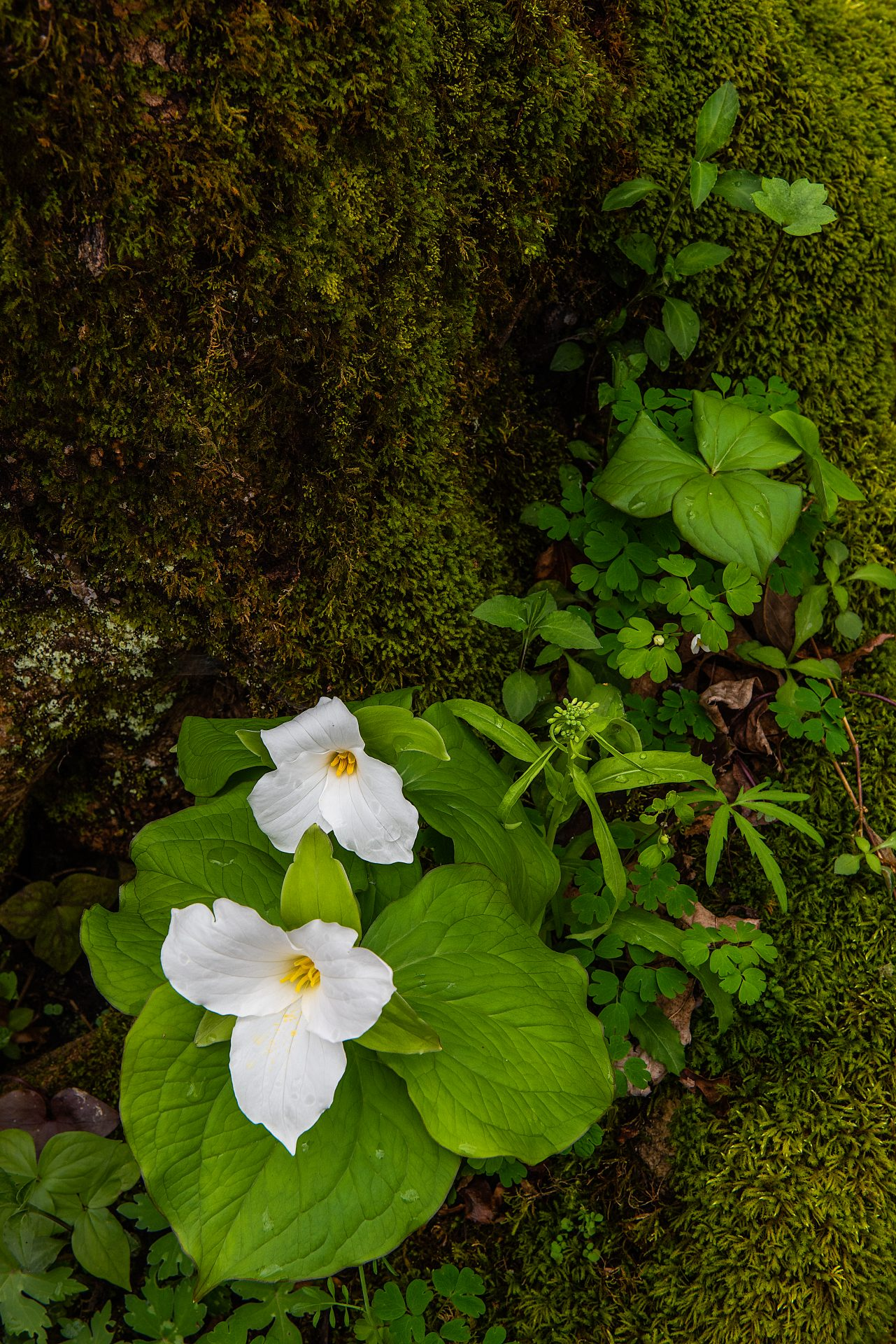 Trillium and Moss Photo Courtesy of Tom Croce Photography