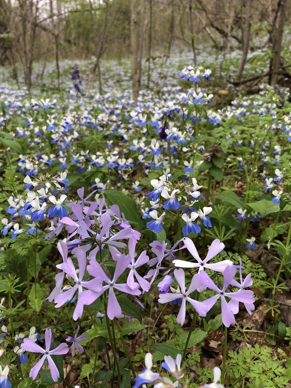 Blue-eyed Mary's and Phlox at Ohio River Bluffs. Photo by Tim Pohlar