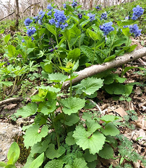 Bluebells and Garlic Mustard at Ohio River Bluffs